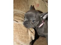 kc reg blue frenchbulldog girl puppy .health tested parents!