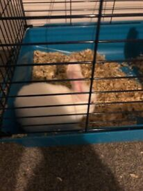 Short haired white rabbit 13 weeks old £15