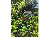 Red Cherry Shrimp - Male/ Female
