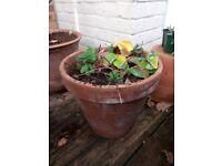 Strawberry plants in terracotta pot
