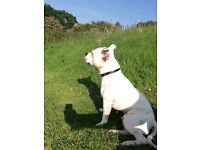 2 years old white Staffordshire bull terrier family pet very obiedient