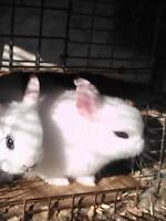 i have 3 hotot rabbit for sale 40$