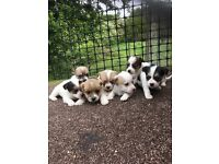 Jack russel cross chihuahua for sale