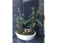 Juniper bonsai trees in large pot
