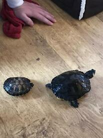 Two yellow bellied turtles and 3 foot tank set up