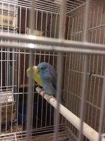 Celestial Parrotlet Parakeet for sale