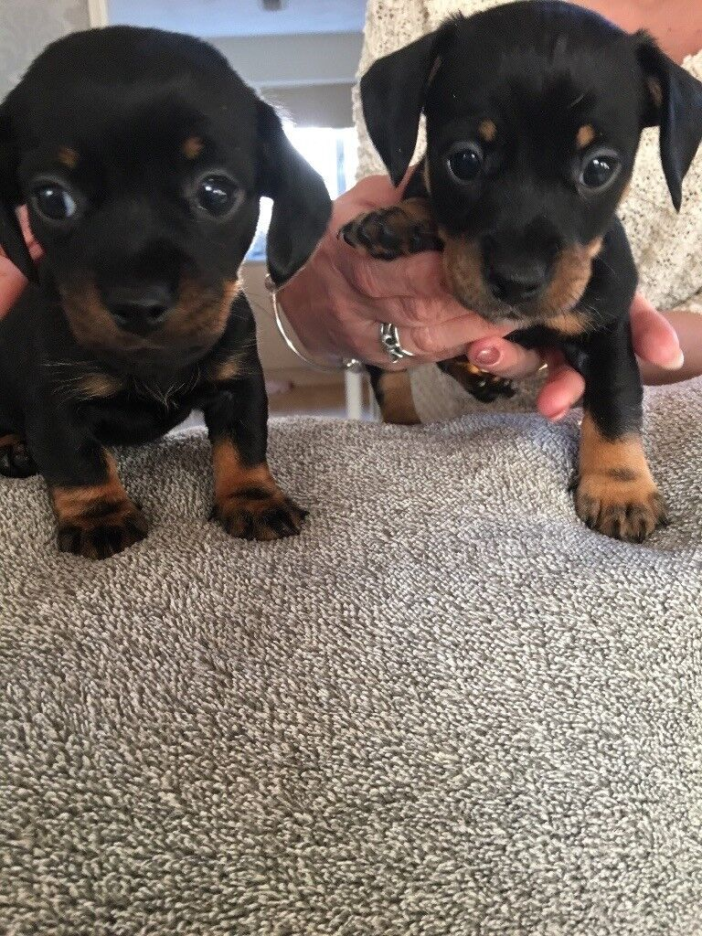 2 female Dachshund cross puppies