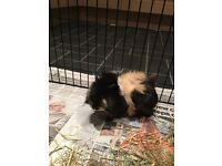 2 gorgeous long haired 12 week old female guinea pigs and accessories for sale