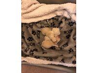Miniature Pomeranian KC registered