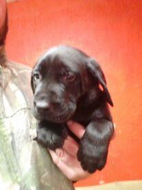 (only 4 left) Pedigree Labrador pups for sale