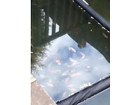 Koi fish for sale high quality fish-going fast