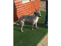 Norfolk lurcher cross greyhound
