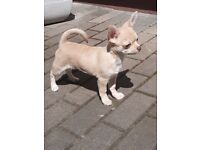 Tiny Full Pedigree chihuahua boys looking for new home!!