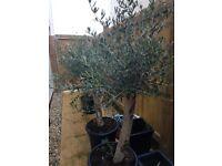 Olive Tree. Chunky trunk.
