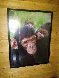 Large chimp whispering framed print (3 of 4)