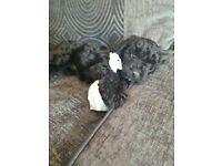 Cockerpoo pup for sale £600