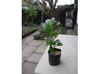POT GROWN LAUREL HEDGING PLANTS. VARIETY 'ETNA'.