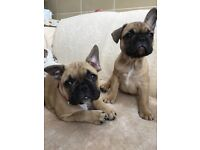 ***FRENCH BULLDOGS*** stunning litter of 2 french bulldog girls for sale **Quality pups**