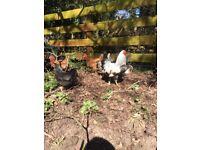 Wyandotte Chickens for sale