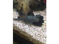Tropical fish - Pleco's for sale
