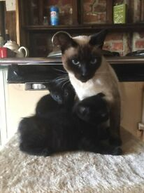 Beautiful Siamese-cross kittens.