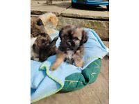Shiraian puppies READY 27TH APRIL