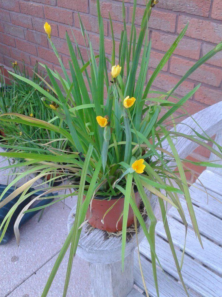 10 X Sisyrinchium Brachypus Yellow Star Shaped Flowers In
