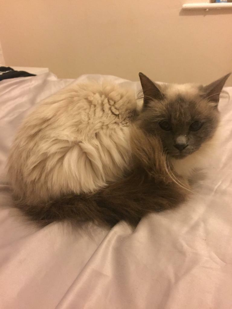 Beautiful girl ragdoll