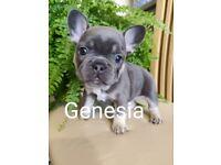French bulldog puppies Isabella cariers