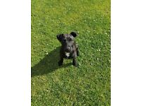 6 month old PatterJack Male