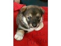 American Akita X Malamute Puppies