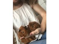 Abyssinian x babies guinea pig