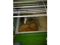 2 male guinea pigs with indoor cage FREE to a good home