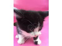 2 Male Kitten for Sale
