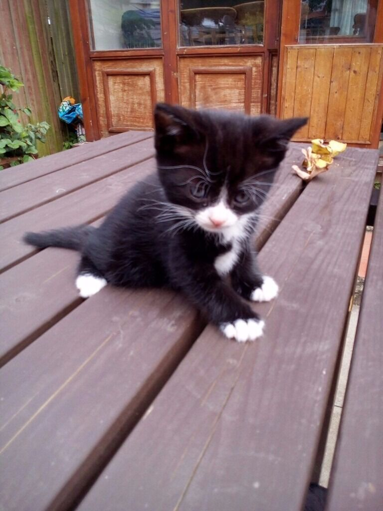Cute and Adorable Black And White Kitten For Sale ONLY £50