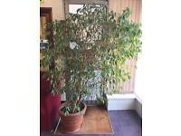 Weeping Fig (Ficus Benjamina)
