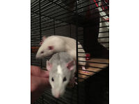 Two beautiful young rats plus cage etc, allergy forces sale
