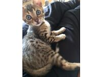 Bengal Kitten plus free accessories **IMMEDIATE SALE REQUIRED**