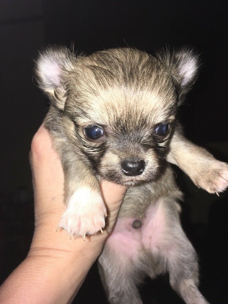 Chihuahuas long coats puppy's