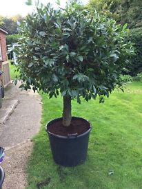 Large shaped Bay Tree potted