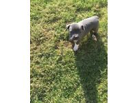 Beautiful kc registered blue grey staff puppies