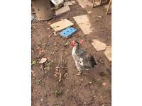 Legbar chicken