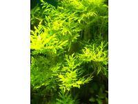 freshwater aquarium/fishtank live plant