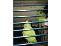 2 Indian ringneck parrots male and female with cage