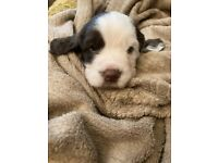 2 Beautiful English Springer Spaniels puppies For Sale