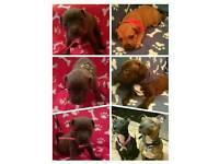 Beautiful Staffordshire Puppies