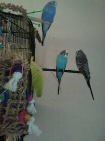 Budgie and cage ( female) free to good home or aviary
