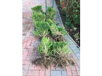 Box bushes