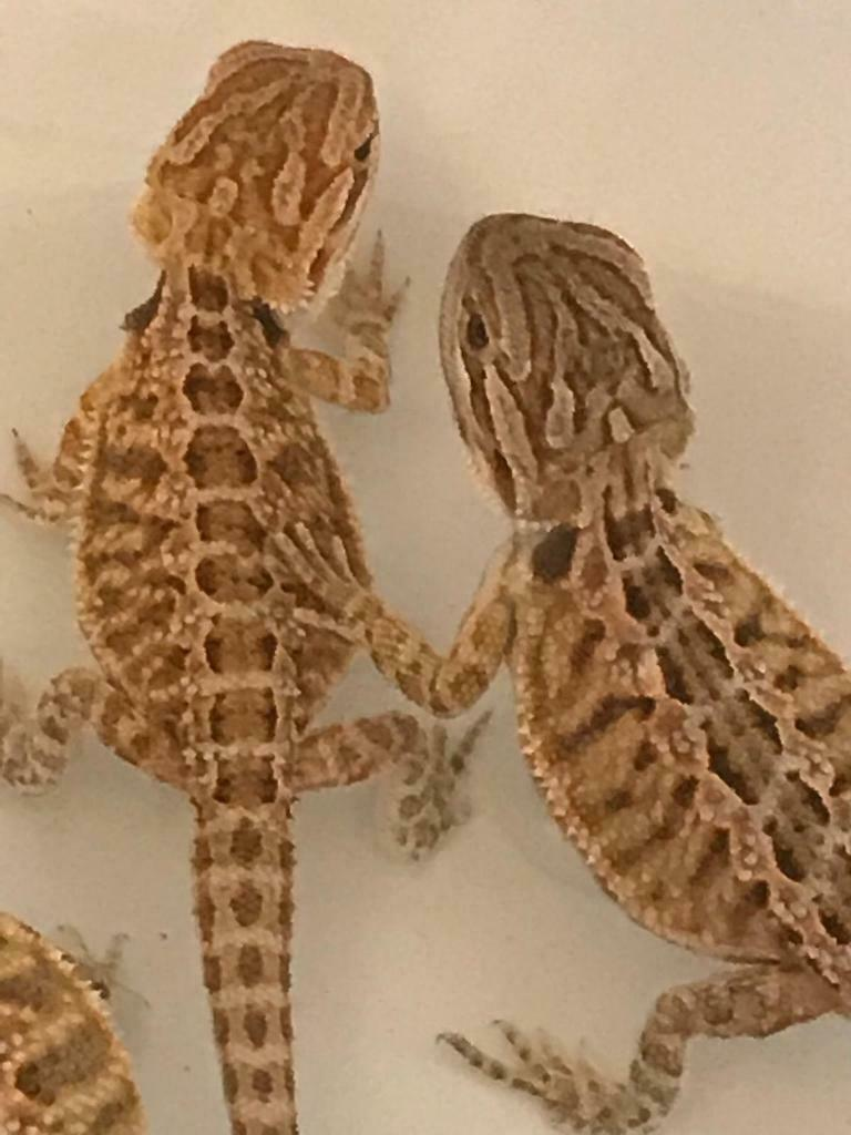BABY HYPO BEARDED DRAGONS FOR SALE   in Sompting, West Sussex   Gumtree