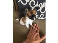Tiny pedigree chihuahua girls. Only the tiniest one available now.